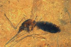 46millionyearold mosquito fossil discovered - if only they all had been made into fossils....
