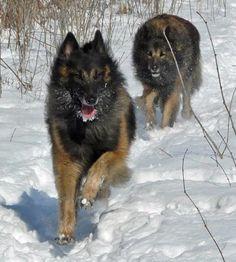 tervuren dog photo | Brice the Belgian Tervuren | Dogs | Daily Puppy