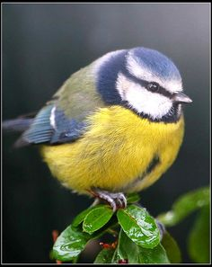 The blue tit is very common throughout Britain and is found in a lot of gardens. It will eat small grubs to nuts and suet. They have from 4-12 off spring.