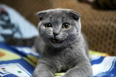 What are Scottish Fold kittens? - Scottish Fold