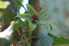 La rosa verde (Gonolobus uniflorus)