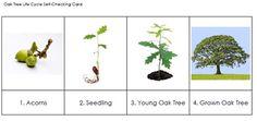 FREE Oak Tree Life Cycle Sequencing Cards - Karen Cox - TeachersPayTeachers.com