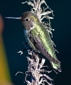 In honor of the hummer by Dally, via Flickr