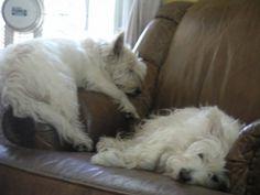 Sleeping Westies
