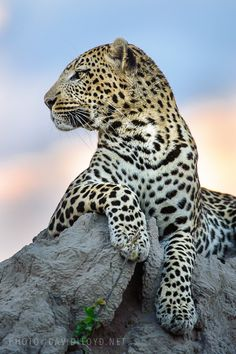 ~~The Magician ~ Leopard atop a termite mound by David Lloyd~~