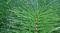 Skrzyp polny – właściwości lecznicze, zastosowanie, sposób użycia Plant Leaves, Herbs, Health, Plants, Medical, Fitness, Per Diem, Health Care, Medicine