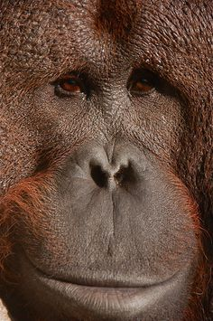 ORANGUTAN GRIN ! by TJCLARK, via Flickr  >>> I often wonder what they think of the human race...  I for one, am ashamed.