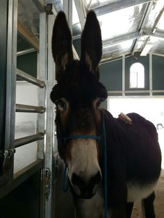 #donkey #animals #pets #mammoth donkey