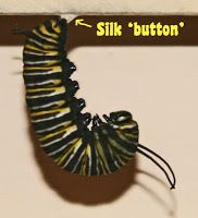My Monarch Guide: Monarch Butterfly Milkweed Mania! Butterfly Shape, Monarch Butterfly, Milkweed Plant, Monarch Caterpillar, Just Giving, Pretty Flowers, Raising, Butterflies, Egg