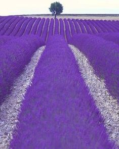 Provence France with Violet Purple fields of flowers Purple Love, All Things Purple, Purple Rain, Shades Of Purple, Purple Stuff, Purple Flowers, Bright Purple, Deep Purple, Lavender Blue
