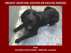 URGENT! WILL DIE 4/29/14 4/25/14 Josie is a female Lab and is 1 yrs old and weighs 56.6 lbs. Will be available 4-29-14. http://www.youcaring.com/nonprofits/josie-the-lab/170217  This baby is in a kill shelter in Abbeville, LA which does not allow public adoptions. Animals must be pulled by an approved rescue or can be adopted through AAVA.