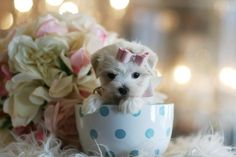 ♥♥♥ Teacup Maltese! ♥♥♥ Bring This Perfect Baby Home Today! Call 954-353-7864 www.TeacupPuppiesStore.com <3 <3 <3 TeacupPuppiesStore - Teacup Puppies Store Tea Cup Puppies Store - TeacupPuppiesStore.com