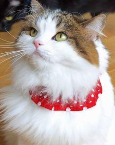 デイリー猫服~みんな大好き水玉の赤い猫服 猫専門店ゴロにゃん★公式通販サイト|猫の首輪・猫用品・フード|