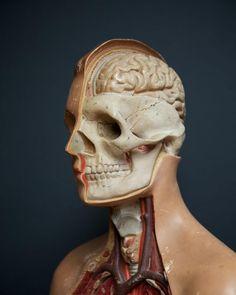 Anatomical Teaching Torso, Decorative Antiques, Drew Pritchard
