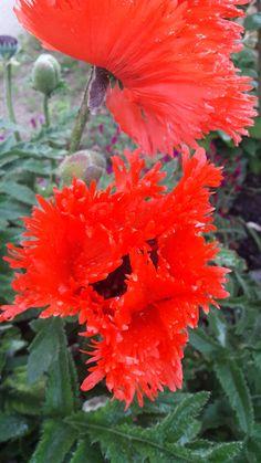 Papaver Orientale, Red Perennials, Poppies, Gardens, Plants, Red Flowers, Biography, Outdoor Gardens, Poppy