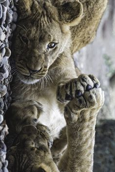 Paw against paw by Tambako the Jaguar