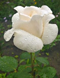 White rose... My favorite flower.  It is beautiful in its simplicity.  It is pure.  It is a gift to my eyes and heart.