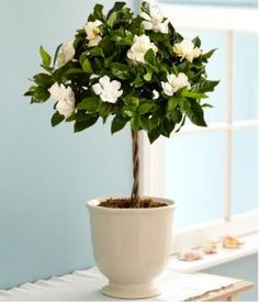 Sweet Fragrance Of Gardenia Flowers In The Bedroom Has Effectiveness Impact In Relaxing The Body And Brain Best Indoor Plants For Bedroom Air Quality And Restful Sleep bedroom houseplants. plants in bedroom ideas. bedroom plants oxygen at night. Best Indoor Plants, Cool Plants, Green Plants, Small Plants, Patio Plants, Potted Plants, Indoor Flowering Plants, Plants In Pots, Potted Trees