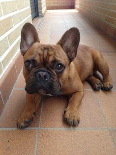 Bimbo the French Bulldog ❤️