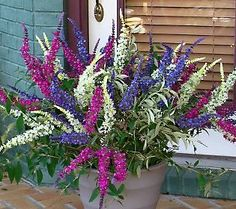 A gorgeous triple threat...3 color butterfly bush.....AND easy to grow!