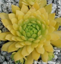 Plant: Hen and Chicks (Sempervivum 'Cmiral's Yellow') Contributor: valleylynn - Gallery: Leaves Caption: Photo courtesy of Erwin Geiger, Semper-vivum.de, Nursery Sempervivum and hardy succulents. Photo location: Germany Date of photo: Jun 2004 Succulent Bonsai, Succulent Gardening, Cacti And Succulents, Planting Succulents, Planting Flowers, Gardening Tips, Sempervivum, Echeveria, Air Plants