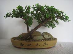 Jade Bonsai.. LoVe!                                                                                                                                                                                 More