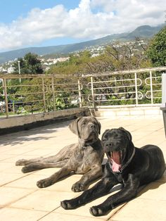 Cane corso dogs and un-clipped ears too, beautiful.