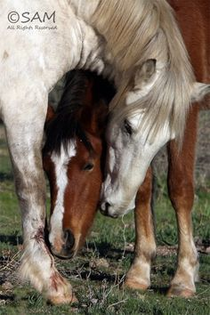 Horse love. Beautiful horses nuzzling each other with a hug over the top of ones head. The white horse looks like it's leg is injured and the Chestnut is wanting to make it better. Precious.