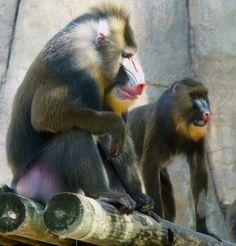 Mandrill | Mandrill ~ True Wildlife Creatures