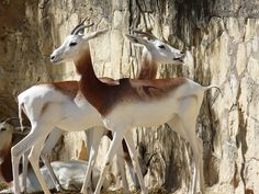 Addra Gazelles, San Antonio Zoo, Texas - Aug 2010 by Peggy Cameron - More in http://www.flickr.com/photos/miruspeg/