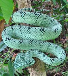 Snake lover and venomous snake handler : Photo