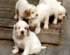 Clumber Spaniel. Oh this is happening...