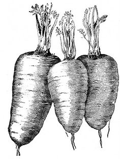 Vintage Vegetable Clip Art - Carrots - The Graphics Fairy