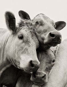 404 Not Found : moooooo. love this image by Joanna Filer-Cooper Cute Baby Cow, Baby Cows, Cute Cows, Beautiful Creatures, Animals Beautiful, Animal Original, Animals And Pets, Cute Animals, Cow Pictures