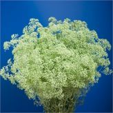 Buy wholesale Gypsophila Dyed Mint Green for delivery direct to any UK address - wholesaled in Batches of 25 stems. Ideal for wedding flowers, floral design & corporate events. No minimum order required - Floral accessories also available. Cut Flowers, Green Flowers, Florist Supplies, Gypsophila, Buying Wholesale, Corporate Events, Mint Green, Wedding Flowers, Floral Design