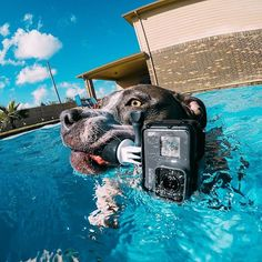 Photo of the Day! Kalea the pup putting the #HERO5 to the test while playing in the pool! #📸: @gurustunts #GoPro #GoProPets #🐶 #DogsofInstagram