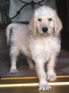 Harry the Labradoodle at 8 weeks old!