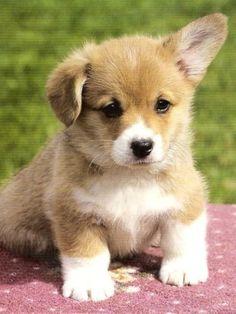 Corgi- Cute Corgi Puppy, Corgi Dog, Cute Puppies, Cute Dogs, Dogs And Puppies, Pomeranian Puppy, Corgi Welsh, Corgi Pembroke, Beagle Mix