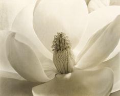 Imogen Cunningham (United States, 1883-1976) Magnolia Blossom 1925 Gelatin silver print