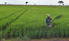 UK aid money is being used to carve up Africa, the World Development Movement says. Above, a worker at Saudi Star rice farm in Gambella, Eth... (April 2014)