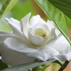 A gardenia plant is beautiful but high maintenance.