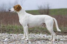 istrian shorthaired hound   Istrian Shorthaired Hound