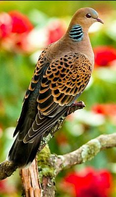 Pictures of Pigeons and Doves: Speckled Pigeon Kinds Of Birds, All Birds, Cute Birds, Pretty Birds, Beautiful Creatures, Animals Beautiful, Cute Animals, Exotic Birds, Colorful Birds
