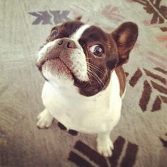 This intense glare. | 50 Adorable Reasons That 2013 Was The Year Of The French Bulldog