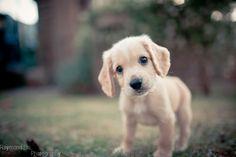Cocker Spaniel Puppy :)