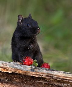 Strawberries for Lunch, eastern black chipmunk photographed by Gary Fairhead :)