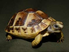 Hatchling Greek Tortoise. Once I live in a place that allows tortoise ownership, I will buy a male Greek tortoise. I will name him Zeno, after Zeno's Paradox, because I am a nerd.