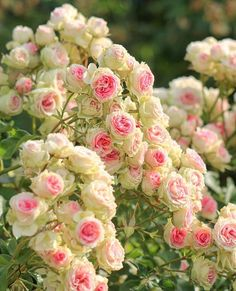 Amazing Flowers, Love Flowers, Beautiful Roses, Climbing Flowers, Rose Garden Design, David Austin Roses, Spring Blossom, Love Rose, Pansies