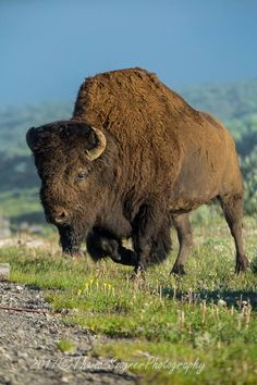 determined to cross the road. Large Animals, Animals And Pets, Cute Animals, Beautiful Creatures, Animals Beautiful, Majestic Animals, Buffalo Pictures, Buffalo Art, Photo Animaliere