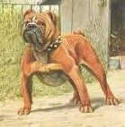 Find out the difference between the Olde English Bulldogge Vs the English/British Bulldog Big Cats, Cats And Kittens, Cute Puppies, Dogs And Puppies, Olde English Bulldogge, British Bulldog, Historical Pictures, Old English, Bulldogs